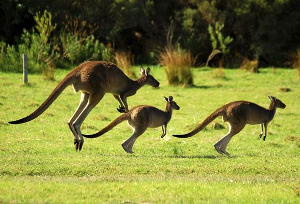 canguros-saltando